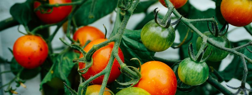 Tomatoes-on-plant