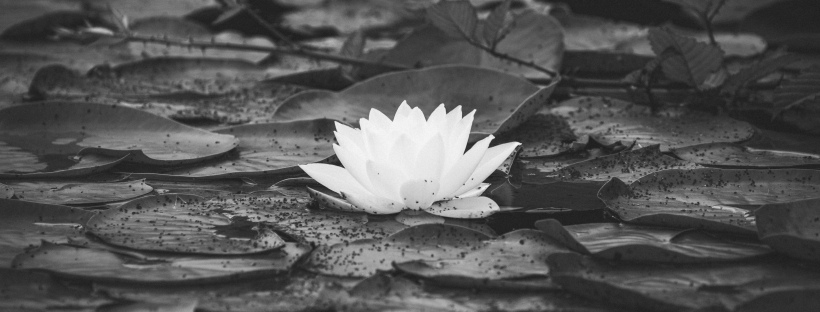 Black-and-white-lotus-flower